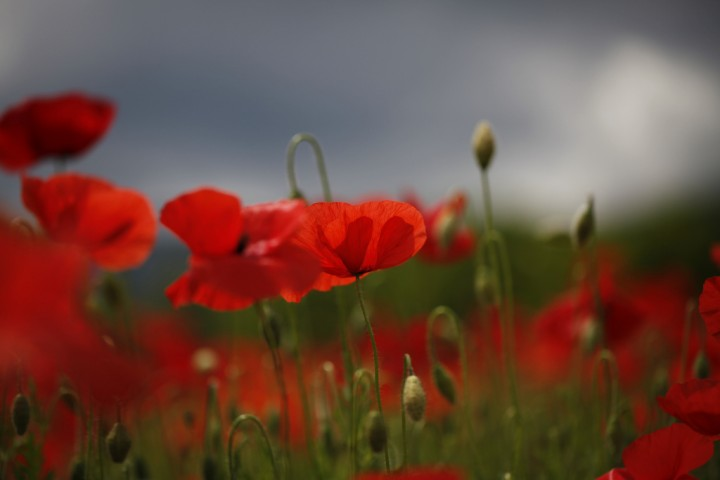 rod blomma